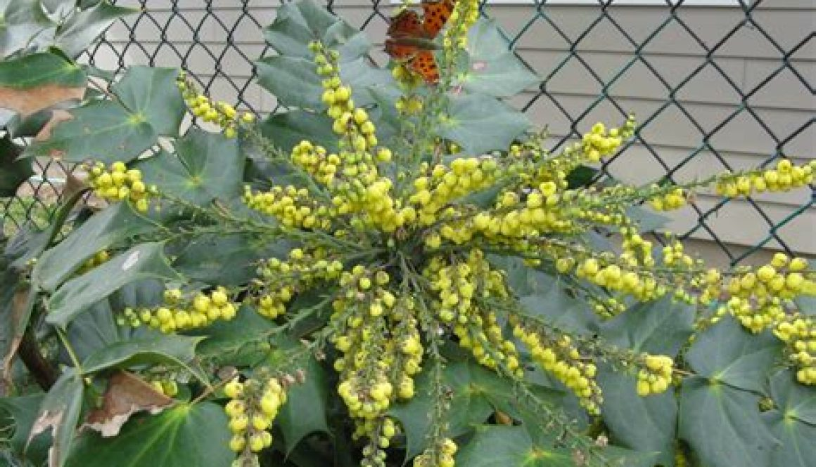 Mahonia in Bloom