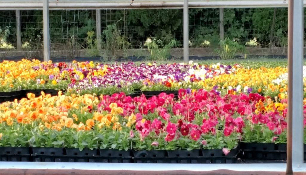 pansies-maple-grove-flower-farm